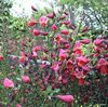 Cytisus Red Favourite 7.5/10L